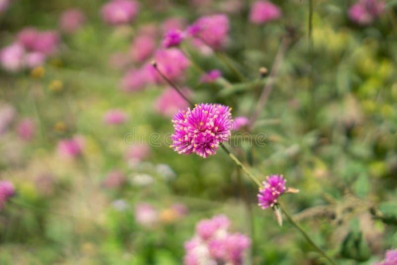 Las ramas de p?talos rosados del flor eterno nacarado en el verdor salen del fondo borroso, saben como bot?n del soltero, globo foto de archivo