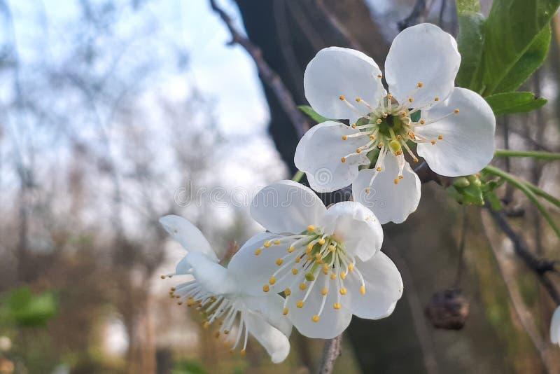 Las ramas de un ?rbol floreciente Cerezo en las flores blancas fotos de archivo libres de regalías