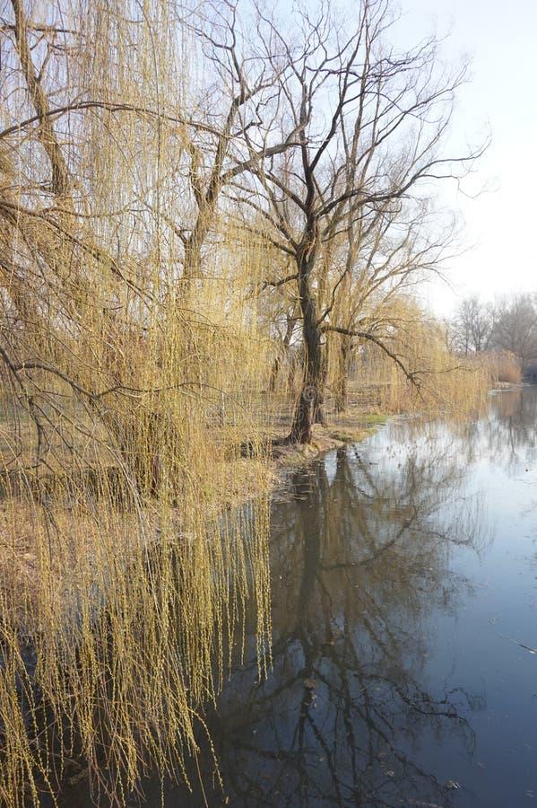 Las ramas del sauce cuelgan sobre el agua Resorte temprano fotografía de archivo libre de regalías