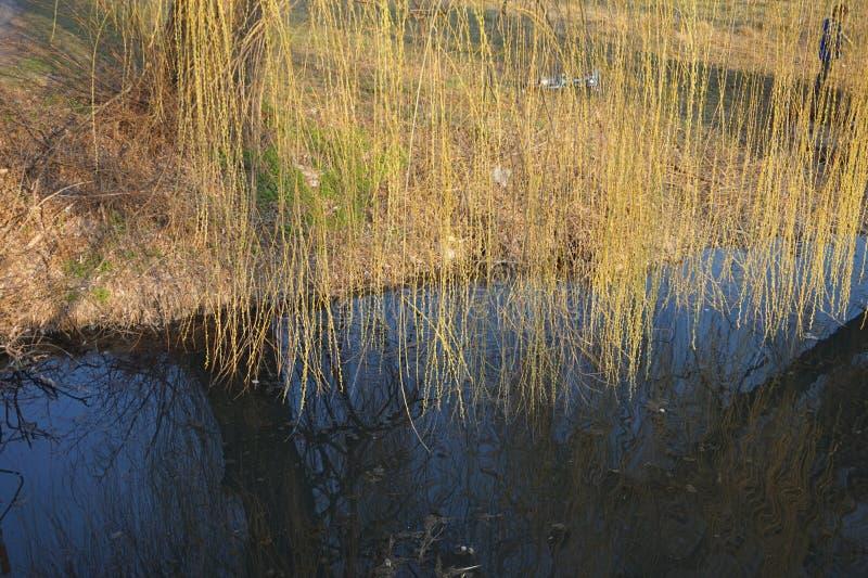Las ramas del sauce cuelgan sobre el agua Resorte temprano imagenes de archivo