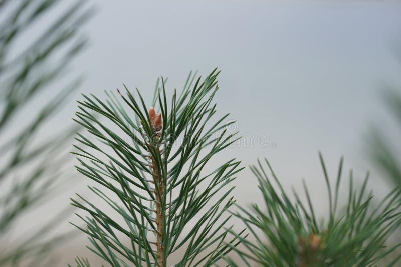 Las ramas espinosas brillantemente verdes del pino, se cierran para arriba de un árbol de pino verde, fondo de ramas de un Piel-á fotografía de archivo