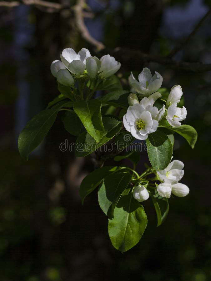 Las ramas florecientes de la cereza encendidas por el sol en un d?a de verano en el bosque imagenes de archivo