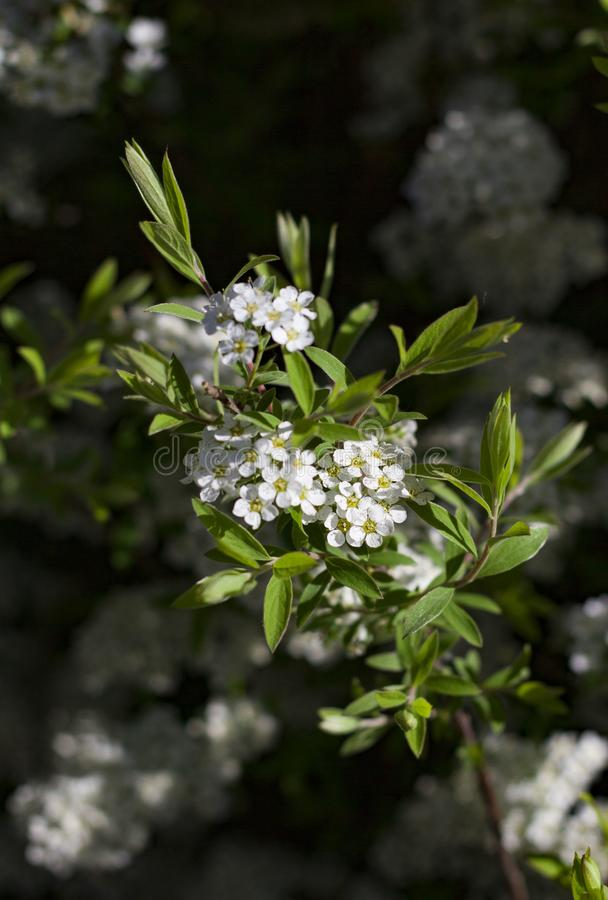 Las ramas florecientes de la cereza encendidas por el sol en un d?a de verano en el bosque imagen de archivo libre de regalías