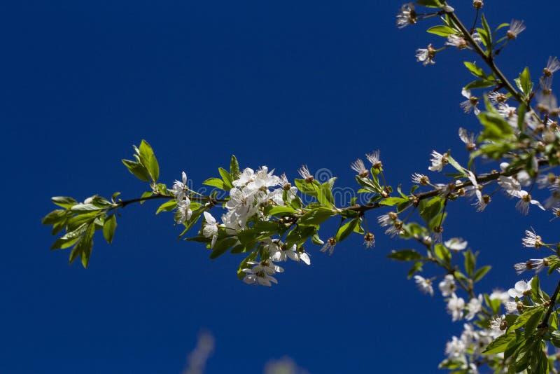 Las ramas florecientes de la cereza encendidas por el sol en un d?a de verano en el bosque imágenes de archivo libres de regalías
