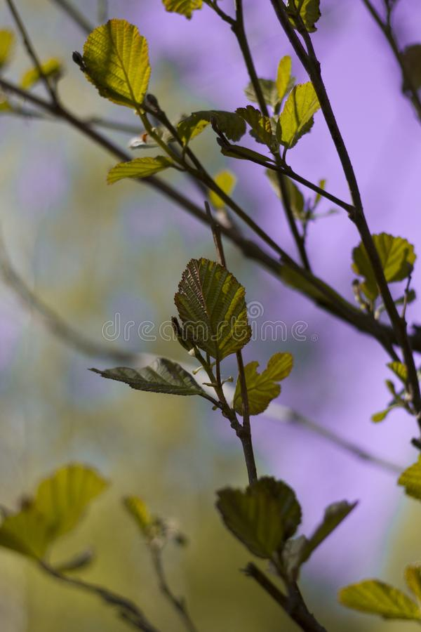 Las ramas florecientes de la cereza encendidas por el sol en un d?a de verano en el bosque fotos de archivo