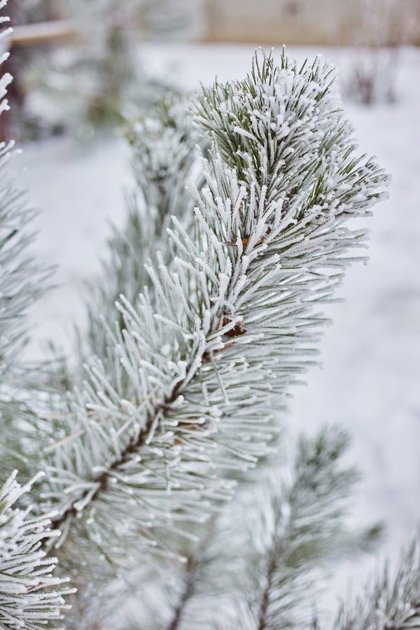 Las ramas Spruce en la naturaleza del bosque wallpaper la estación del fondo foto de archivo