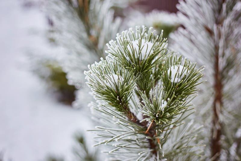 Las ramas Spruce en la naturaleza del bosque wallpaper la estación del fondo fotografía de archivo
