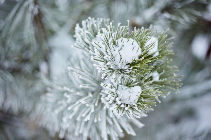 Las ramas Spruce en la naturaleza del bosque wallpaper la estación del fondo imagen de archivo