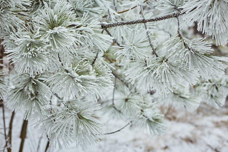 Las ramas Spruce en la naturaleza del bosque wallpaper la estación del fondo foto de archivo libre de regalías