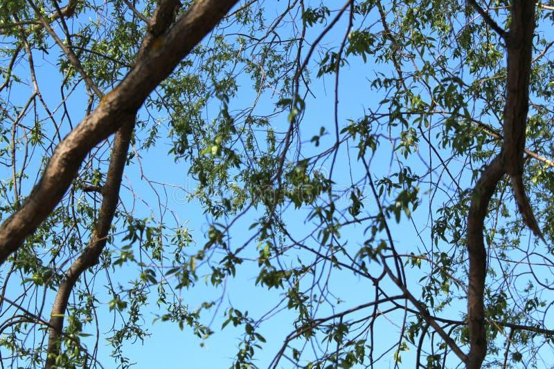 Las ramas verdes de un árbol están contra el cielo azul fotos de archivo libres de regalías