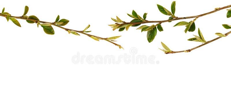 Las ramitas de la primavera con pequeño verde se van en frontera superior foto de archivo