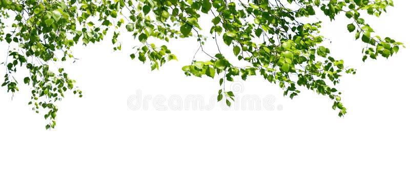Las ramitas del abedul con las hojas verdes jovenes cuelgan abajo de aislado en blanco fotografía de archivo libre de regalías