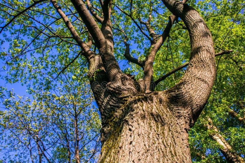 Las ramitas jovenes del arce con las hojas verdes claras son encendidas por la luz del sol de activación de la primavera imagenes de archivo