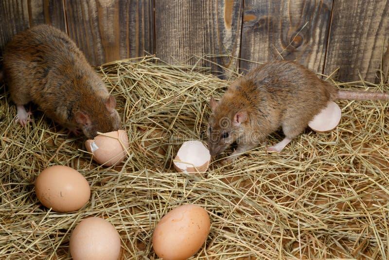 Las ratas jovenes del primer dos en el gallinero de pollo rompen los huevos de gallinas foto de archivo