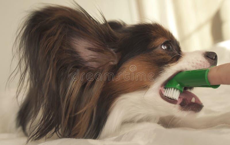 Las razas jovenes Papillon Toy Spaniel continental del perro cepillan los dientes con el cepillo de dientes fotos de archivo libres de regalías