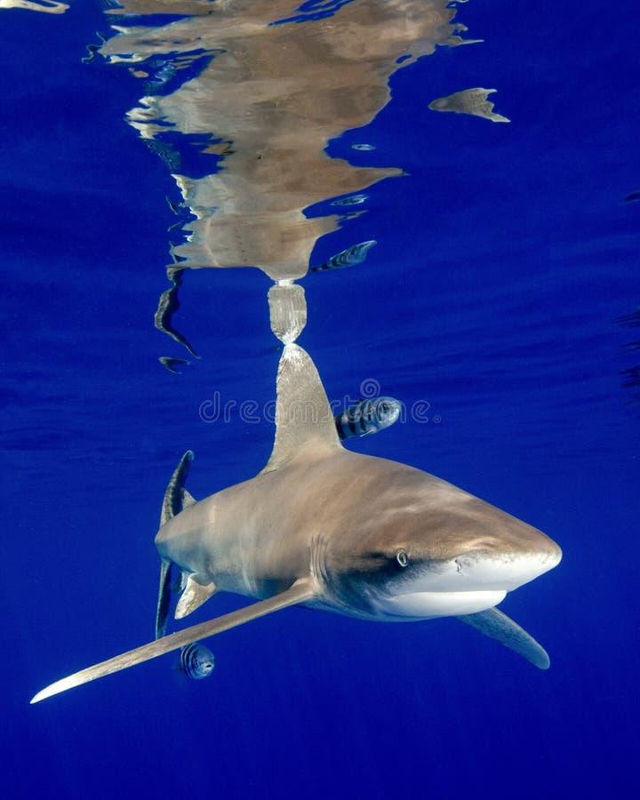 Las reflexiones de un tiburón blanco oceánico de la extremidad en las Bahamas fotos de archivo
