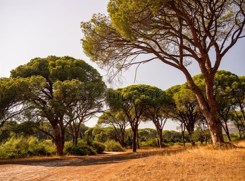 Las Rezerwowy Kalogria z unikalnymi sosnami na Peloponnese w Grecja zdjęcie royalty free