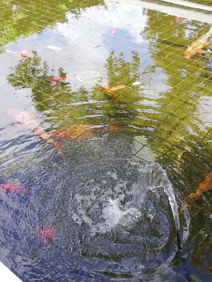 Las riñas de los estanques de Koi foto de archivo