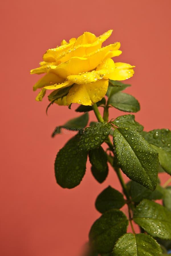 Las rosas amarillas en el fondo rosado, el significar de las rosas brillante, alegre y alegre crean sensaciones calientes y propo foto de archivo