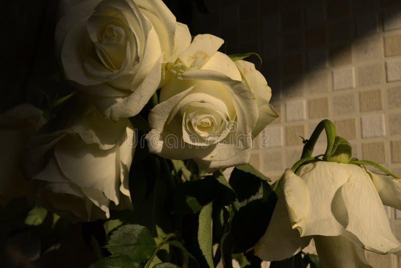 Las rosas blancas en la sombra Expresión romance Mañana amanecer El sol foto de archivo