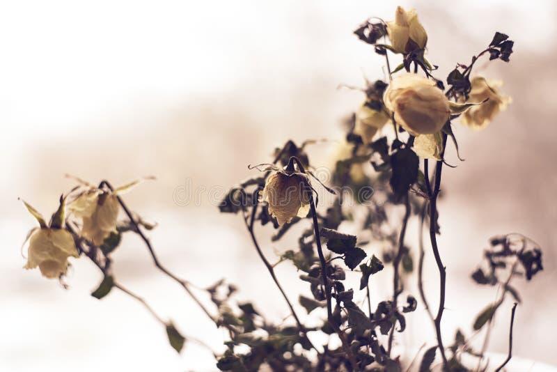 Las rosas blancas muertas en un contexto dramático y desenfocado corazón roto, depresión, ánimo romántico aspecto vintage imagenes de archivo