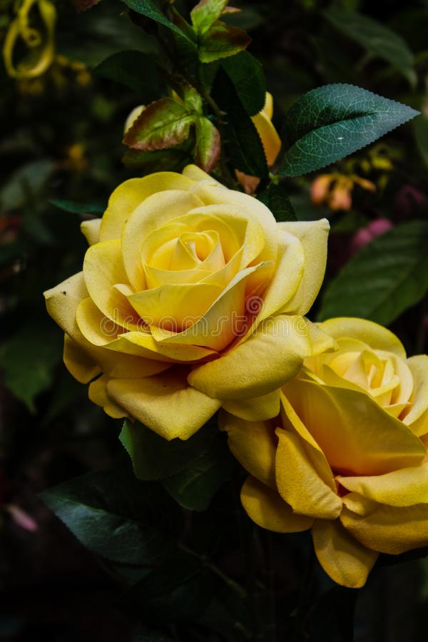 Las rosas coloridas artificiales foto de archivo libre de regalías