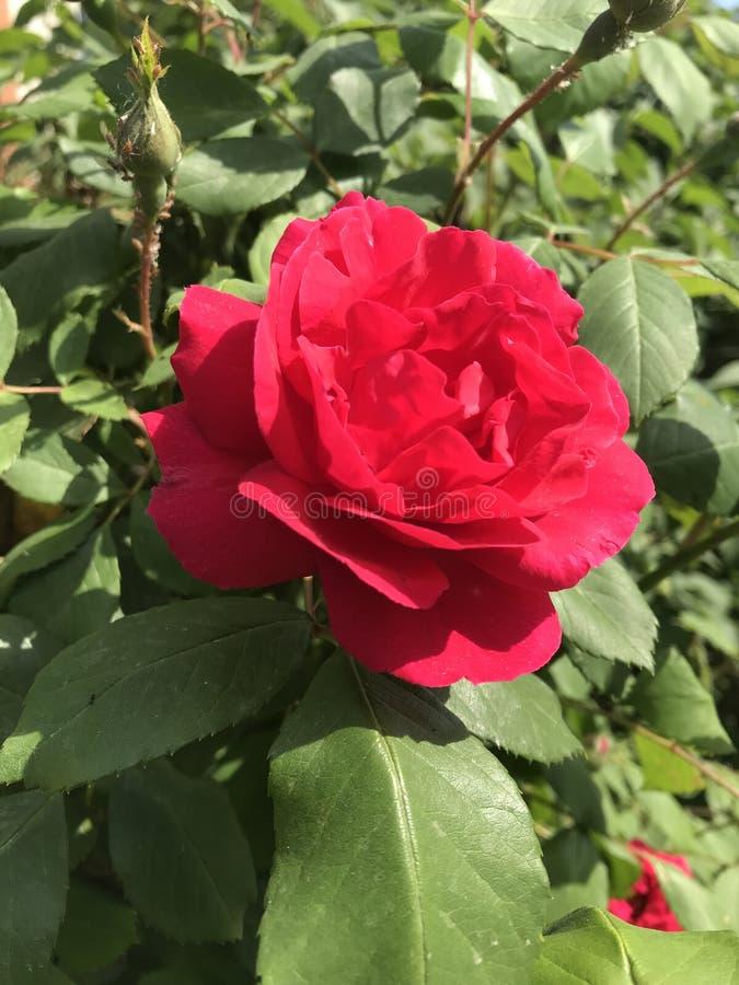 Las rosas del jardín son flores de la primavera imágenes de archivo libres de regalías