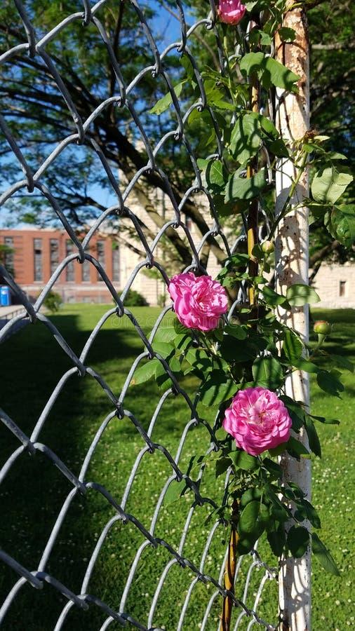 Las rosas florecen en la cárcel del estado de Missouri, abril de 2018 foto de archivo