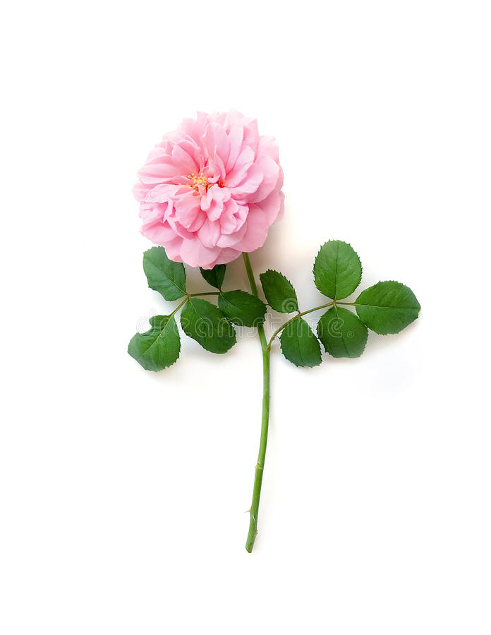 Las rosas inglesas aislaron el dulce para el día del ` s de la tarjeta del día de San Valentín, en fondo del blanco del vintage fotos de archivo libres de regalías