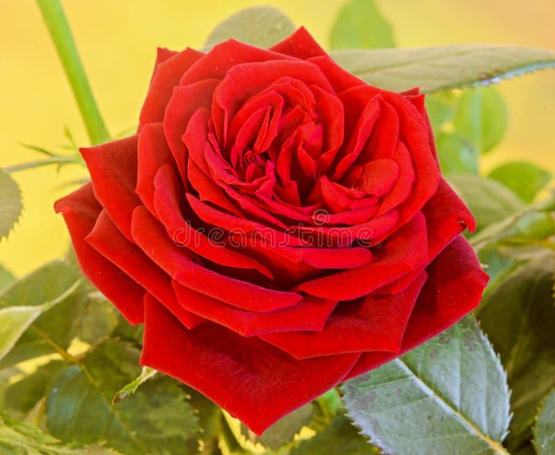 Las rosas rojo oscuro florecen el arbusto con los brotes, ponen verde las hojas, cierre para arriba imagen de archivo libre de regalías