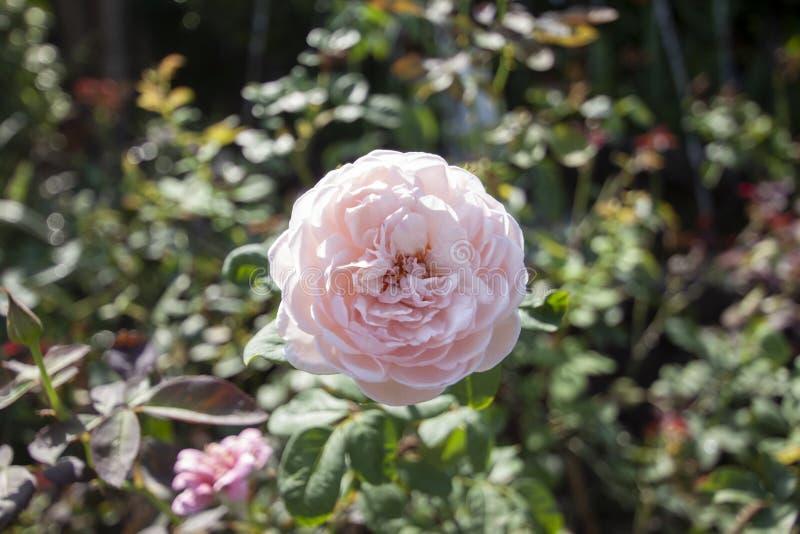 Las rosas rosadas florecen en la luz del sol imagen de archivo libre de regalías