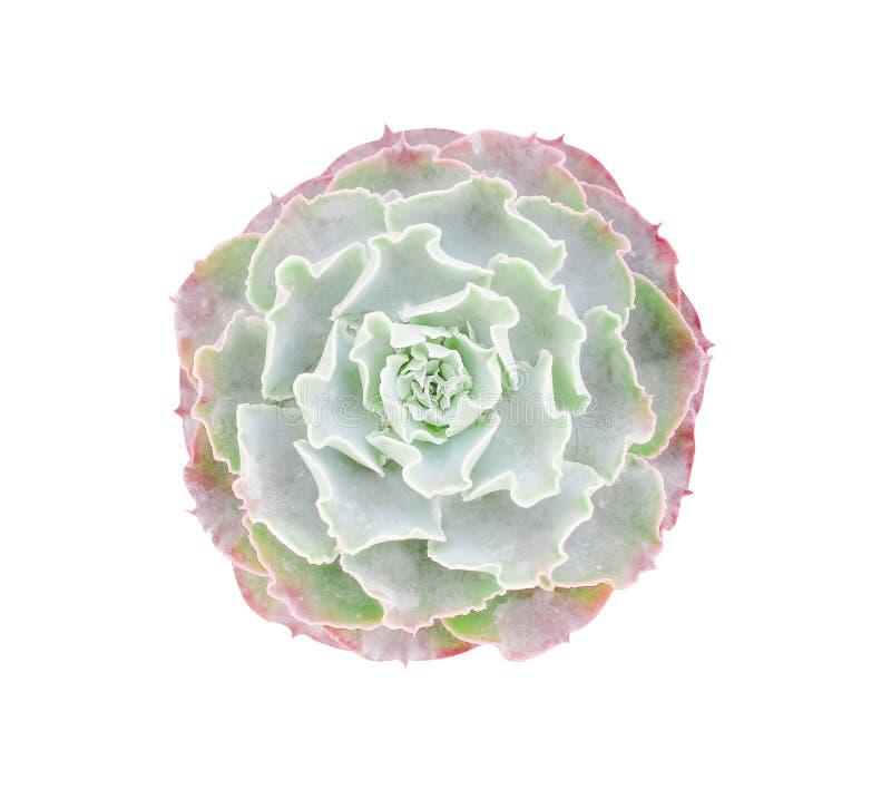 Las rosas verdes empiedran las flores con textura floreciente de las plantas ornamentales del borde rojo, modelos del cactus de l imagen de archivo libre de regalías