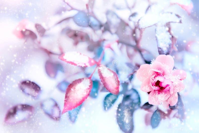 Las rosas y las hojas del azul en nieve y la helada rosadas hermosas en un invierno parquean Imagen artística de la Navidad Foco  foto de archivo libre de regalías