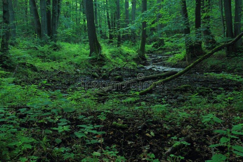 Las rzeczny latem Rezerwat naturalny Cisowa, Gdynia fotografia royalty free