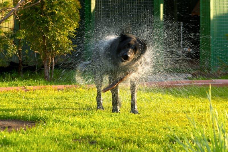 Las sacudidas del perro imagen de archivo libre de regalías