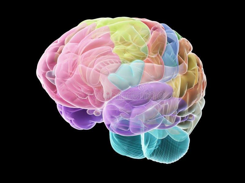 Las secciones del cerebro humano ilustración del vector
