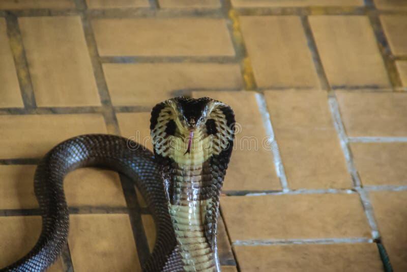 Las serpientes con monóculo peligrosas de la cobra entran en la casa El monóculo imagen de archivo