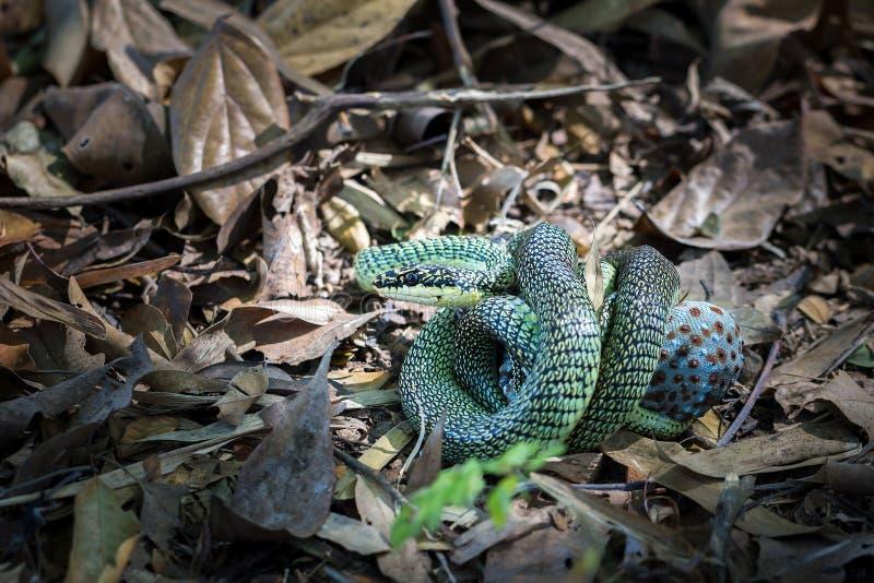 Las serpientes de oro del árbol que comen la salamandra imagenes de archivo