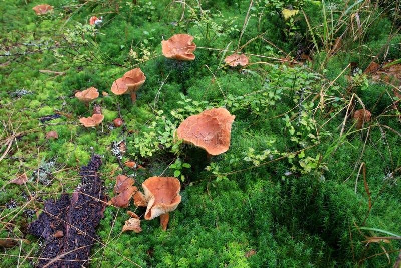 Las setas anaranjadas hermosas crecen en un tocón cubierto con el musgo y la hierba Otoño Bosque cárpato, Ucrania imagen de archivo
