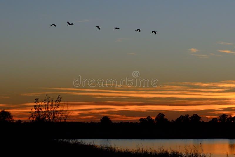 Las siluetas de Sandhill Cranes el vuelo en la puesta del sol foto de archivo libre de regalías