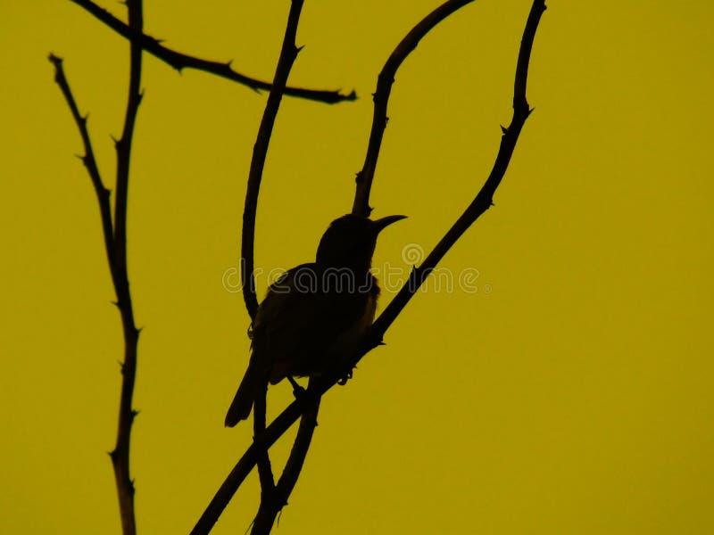 Las siluetas del pájaro se encaraman en las ramitas, con el cielo en la puesta del sol copita fotografía de archivo