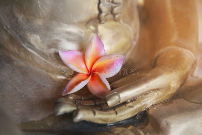 Las sombras del rosa y de los pétalos amarillos 5, flor rosada de la flor del plumeria, se colocan en la mano del latón de Buda fotografía de archivo libre de regalías