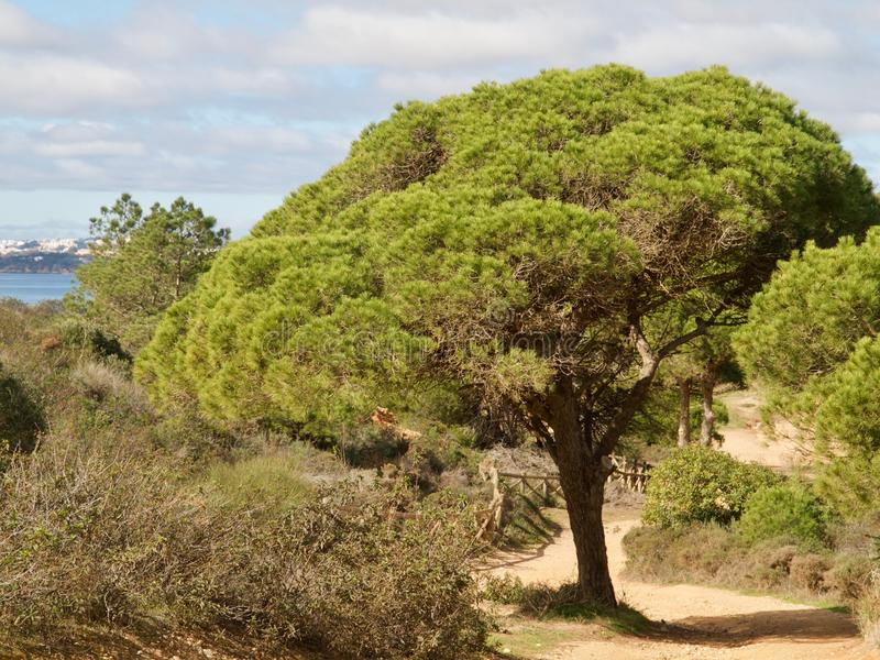 Las sosny przy praia da Falesia w Albufeira przy Algarve wybrzeżem Portugalia zdjęcie royalty free