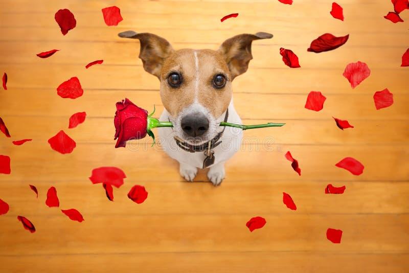 Las tarjetas del día de San Valentín persiguen en amor con subieron en boca fotografía de archivo libre de regalías