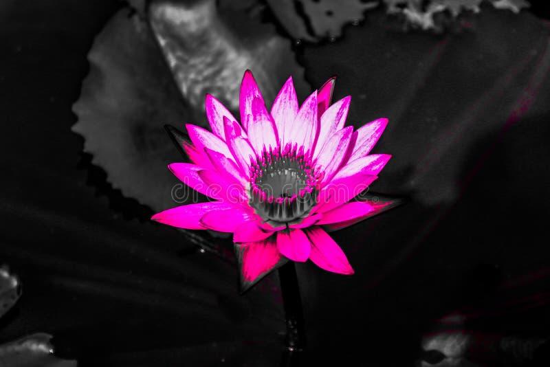Las texturas abstractas hermosas se cierran encima de la flor de loto púrpura del color y rosada roja en el fondo y la pared negr imagen de archivo libre de regalías