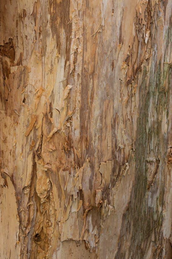 Las texturas del cierre para arriba de la peladura raspan en el tronco del ideal del árbol de goma de eucalipto como fondo de la  fotografía de archivo