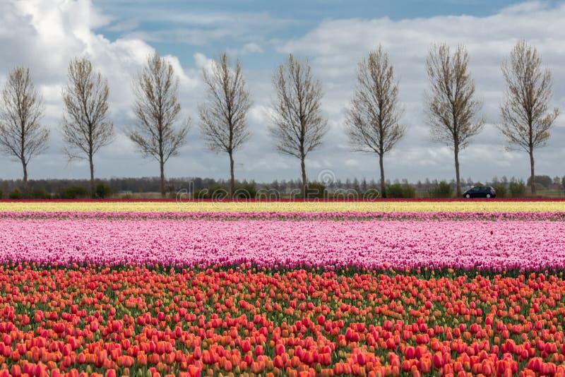 Las tierras de labrantío holandesas con la carretera nacional y el tulipán colorido colocan fotos de archivo libres de regalías