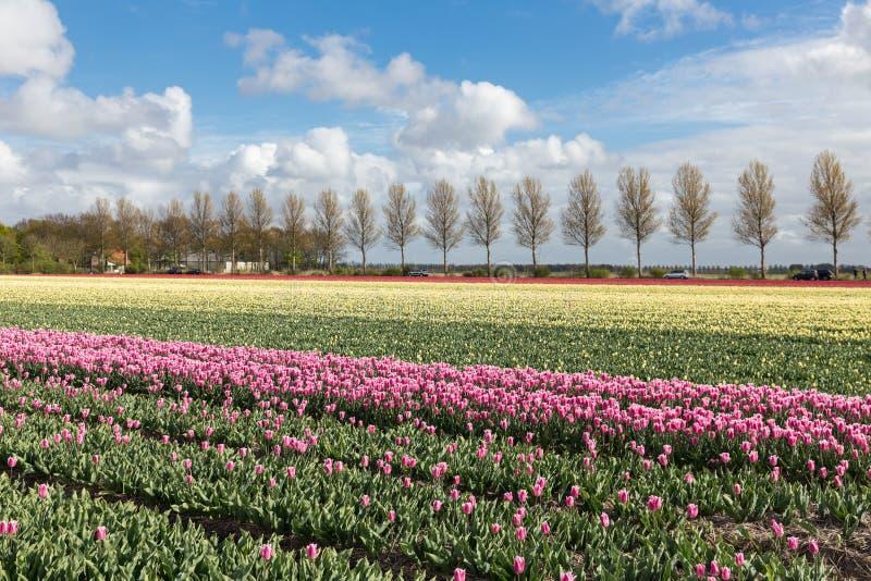 Las tierras de labrantío holandesas con la carretera nacional y el tulipán colorido colocan fotografía de archivo libre de regalías