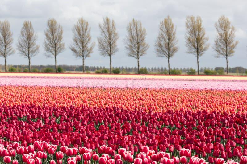 Las tierras de labrantío holandesas con la carretera nacional y el tulipán colorido colocan fotos de archivo