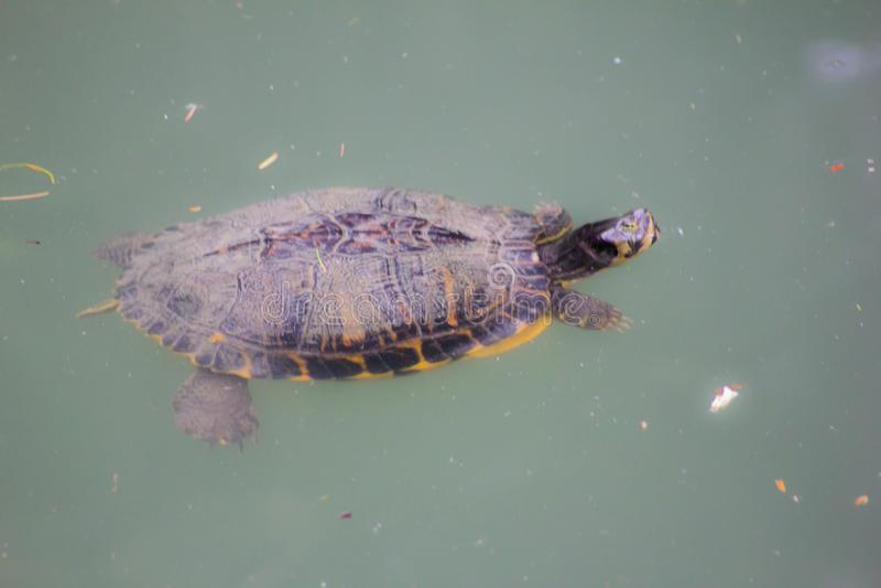 Las tortugas de agua dulce de las tortugas de agua dulce son tortugas pequeñas o medianas entre el más común de hogares como anim fotografía de archivo libre de regalías